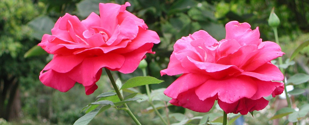 pinkroses.2